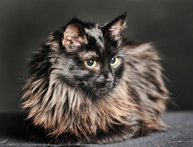オスカーに似た猫