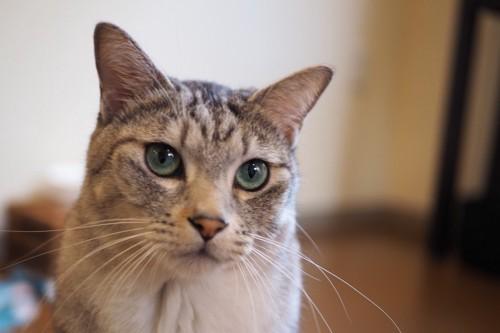 きりっとした表情の猫