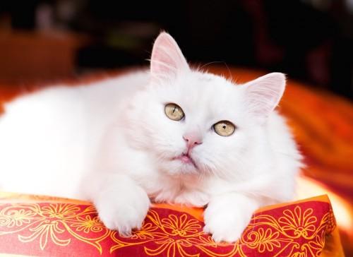布団の上でくつろぐ白猫