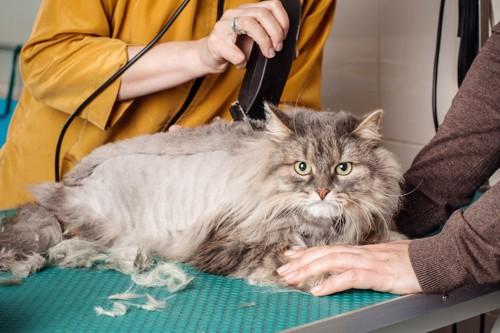 台の上で毛をそられている猫