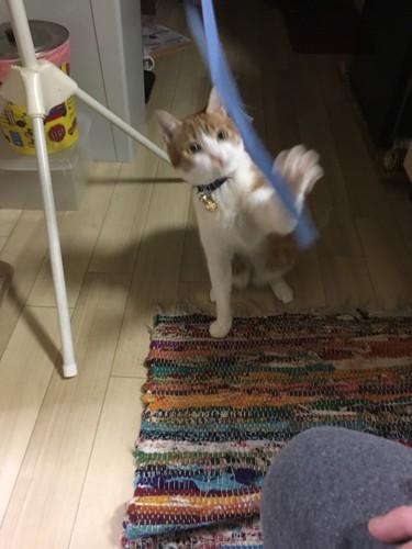 ヒモで遊ぶ猫