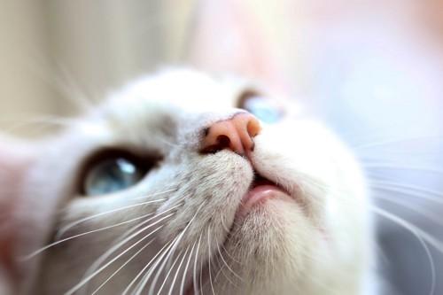 上を見上げる白猫