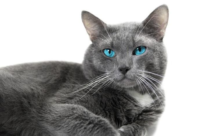 ブルーの猫