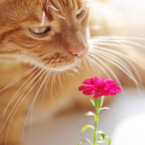 カーネーションと匂いを嗅ぐ猫