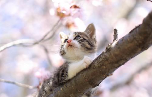 桜の木の上に登っている子猫