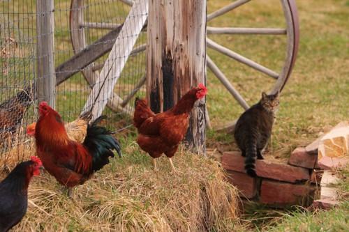 放し飼いの鶏を見つめる猫