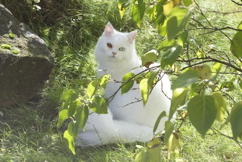 ソリッドタイプのオッドアイの白色ペルシャ猫