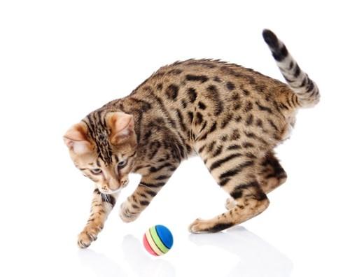 ボールで遊ぶベンガル