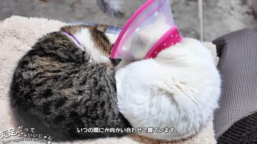 向かい合って寝る猫