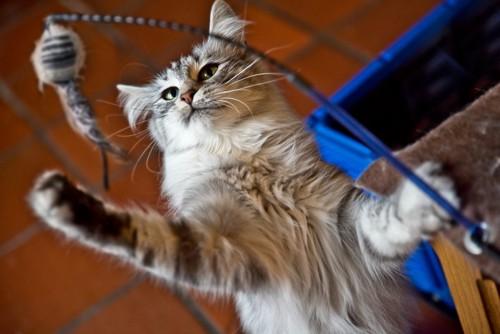 猫じゃらしをパンチする猫