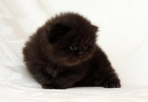 もこもこの毛のペルシャの子猫