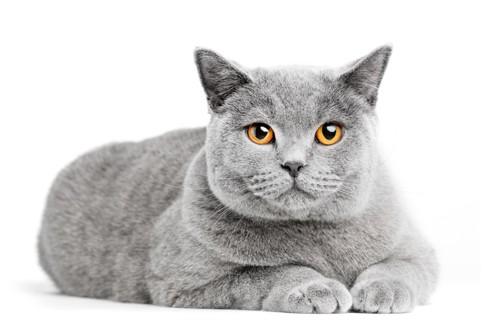 こちらを見る太った猫
