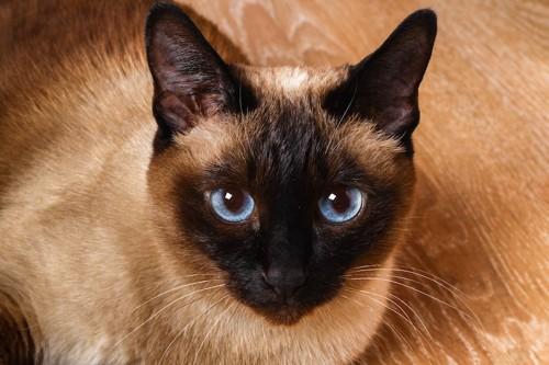 青い瞳で見つめる猫