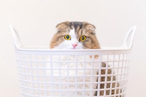 カゴに入る猫