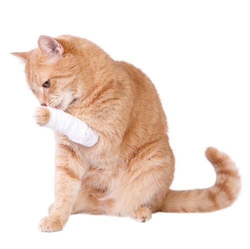 手の包帯を舐める猫