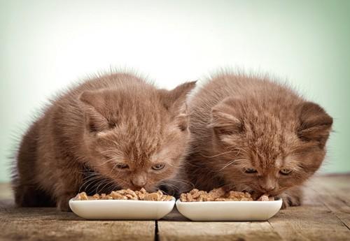 並んでご飯を食べている2匹の子猫