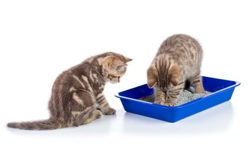トイレの中で砂をかく子猫とそれを見ている子猫