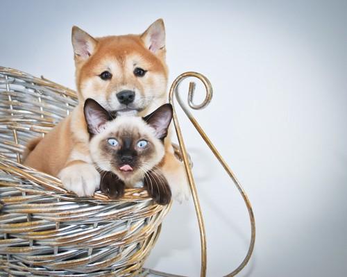 籠の中からこちらを見る柴犬と猫