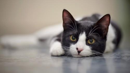 床の上に寝そべってこちらを見る猫