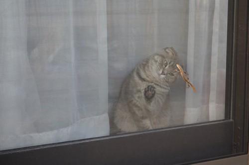 網戸越しにトカゲを見る猫
