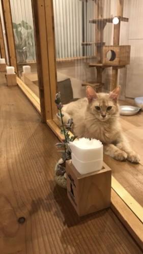 カウンター越し猫写真 ソマリ