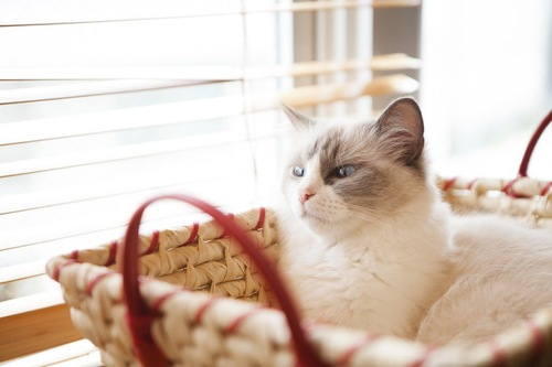 バスケットに入った猫