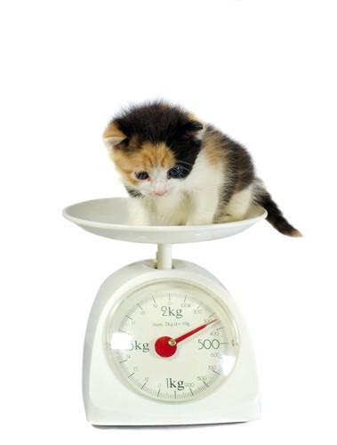 スケールで体重を量る子猫