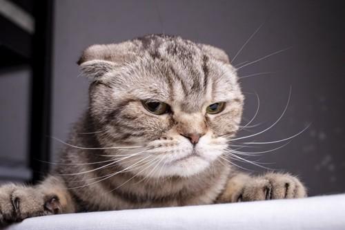 耳をたおす猫