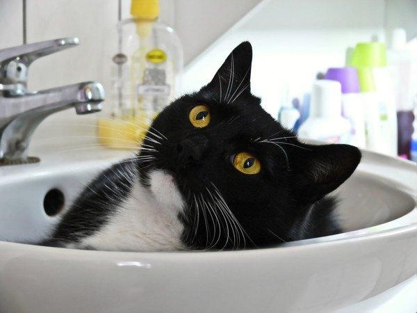 洗面台に入って顔を覗かせている猫