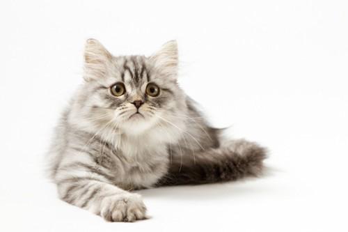 片手を出してくつろぐ長毛猫