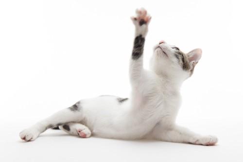 手を上に伸ばす猫