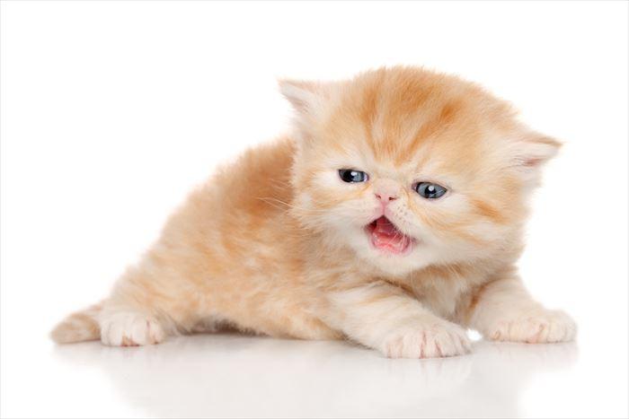 鳴くエキゾチックショートヘア子猫
