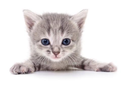 伏せてこちらを見つめる子猫