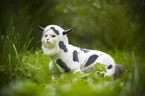 牛柄の洋服を着る猫