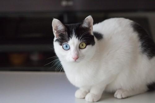 カラフルな目の猫