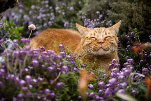 花畑の中で匂いを嗅ぐ猫