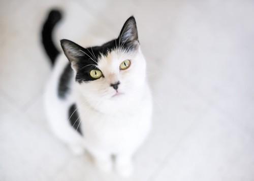 白が多いぶち猫