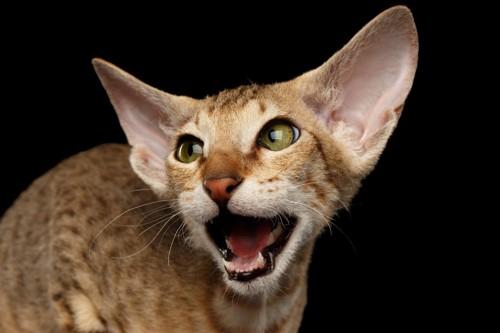 口を大きく開けてなく猫