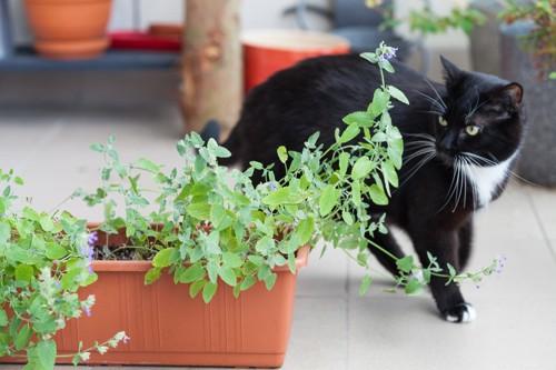 植木鉢を見ている猫