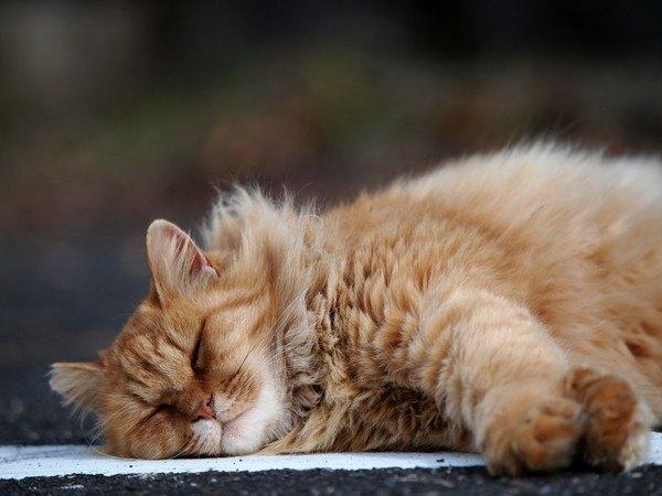 寝転がる長毛種の猫