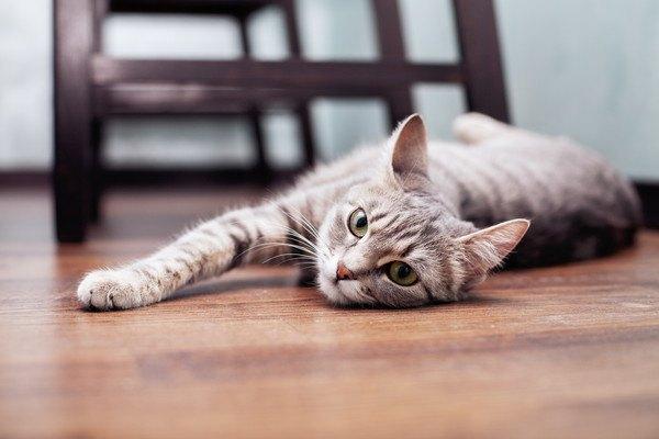 床に横たわるサバトラ猫