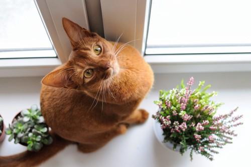 アビシニアンの子猫