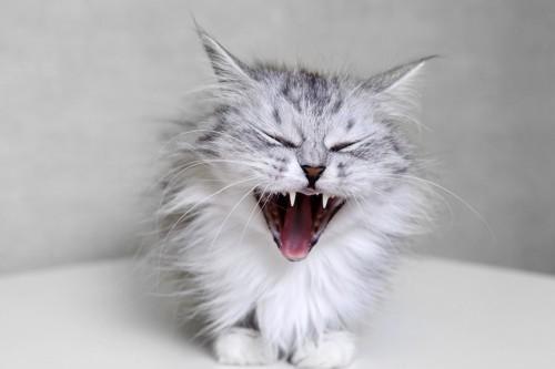 大きく口を開けてあくびをする悪魔のような長毛猫