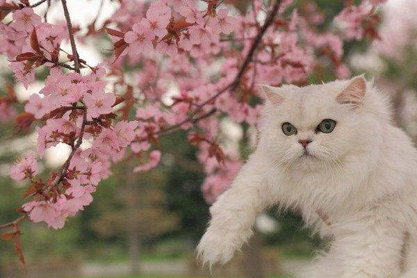 お花見する白猫