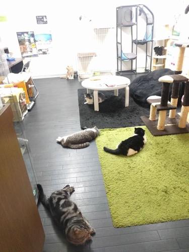 保護猫カフェ&金魚カフェ、マンチカンの全体写真