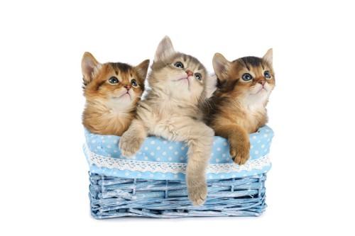 カゴに入ったブルーと茶系の三匹のソマリの子猫