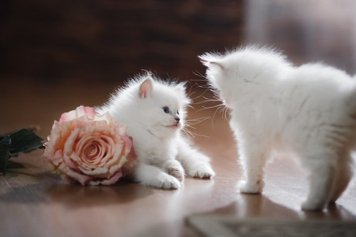 バラの花と二匹の子猫