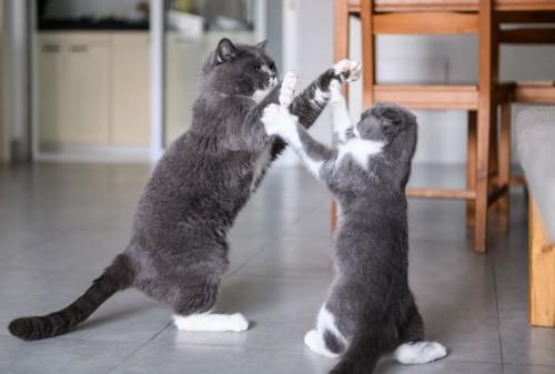 立ち上がってケンカをする2匹の猫