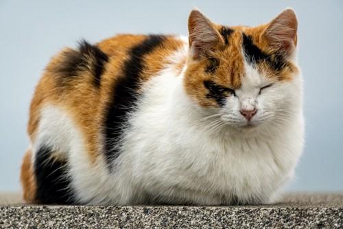 屋外で香箱座りで眠る三毛猫