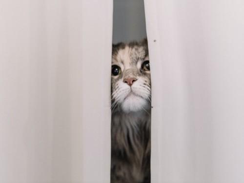 カーテンの隙間から顔を出す猫